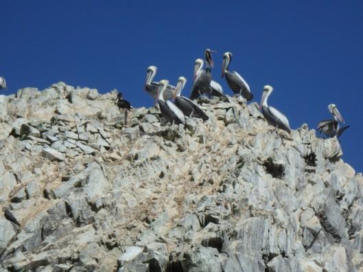 Pélicans, Îles Ballestas, Paracas, Pérou