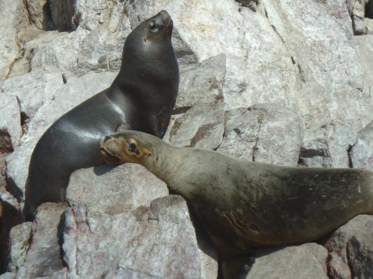 Lions de mer, Îles Ballestas, Paracas, Pérou