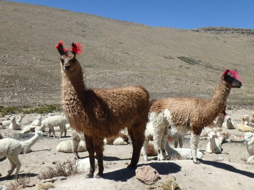 Alpaga, Pérou