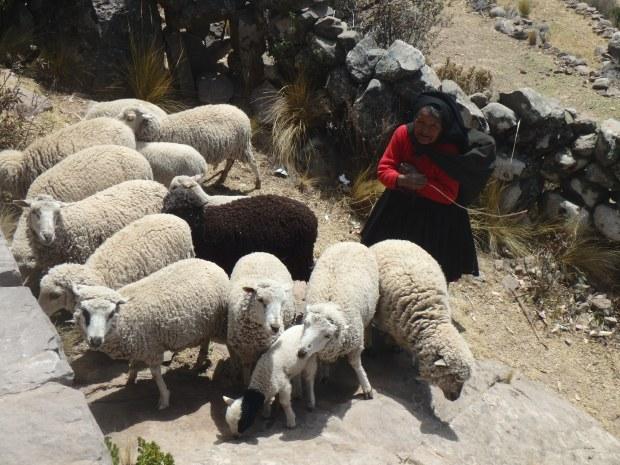 Moutons, Taquile, Lac Titicaca, Pérou