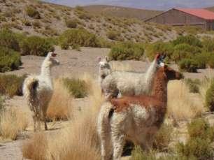 Lamas et alpagas, Bolivie