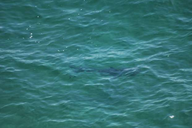 White Shark, Robberg Nature Reserve, Knysna