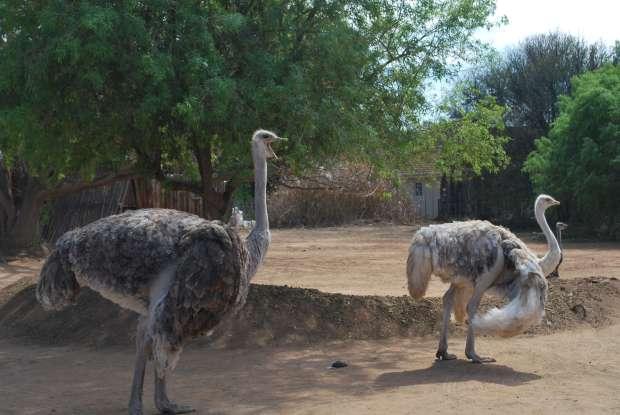 Autruches femelles, Oudtshoorn, Afrique du Sud