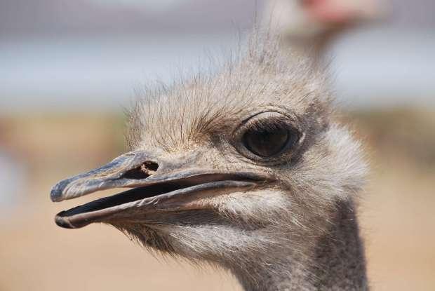 Autruche zoom, Oudtshoorn, Afrique du Sud