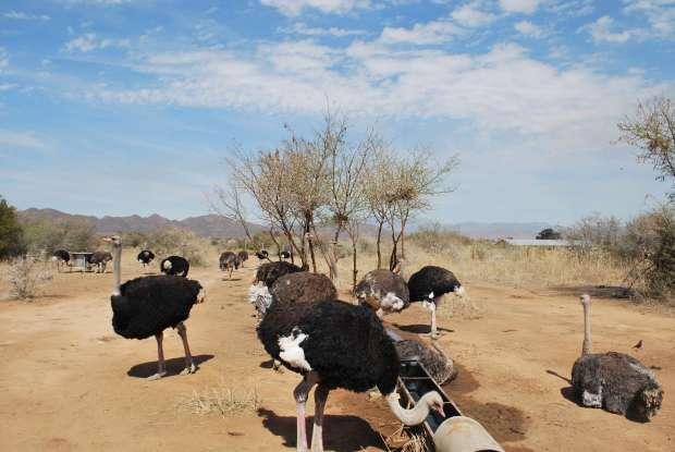 Elevage d'autruches, Oudtshoorn, Afrique du Sud