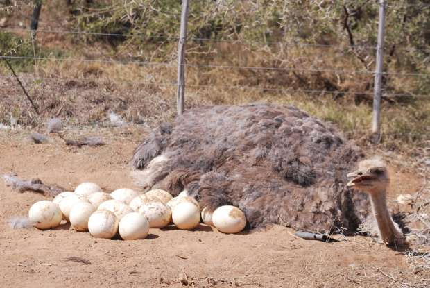 Autruche et oeufs, Oudtshoorn, Afrique du Sud