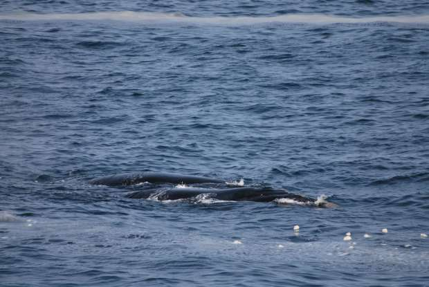 Baleines, Hermanus, Afrique du Sud
