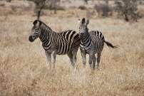 Zèbres, Parc Kruger, Afrique du Sud