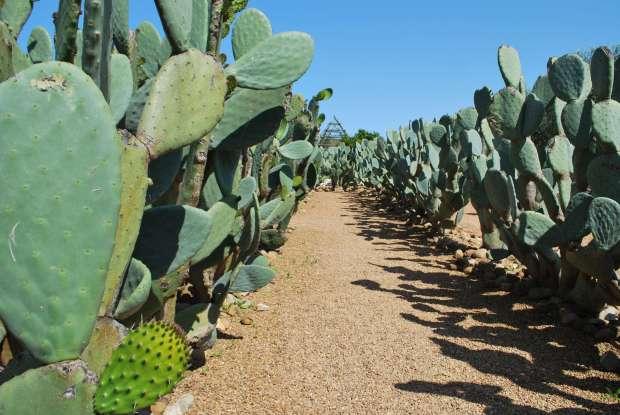 Cactus, Babylonstoren, Afrique du Sud