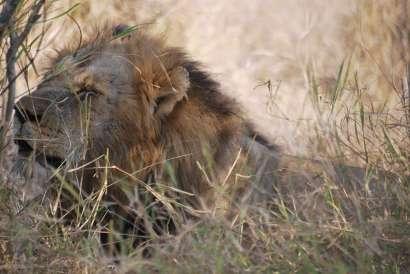 Lion, Parc Kruger, Afrique du Sud