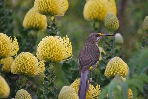 Oiseau, Kirstenbosch Botanical Garden, Cape Town
