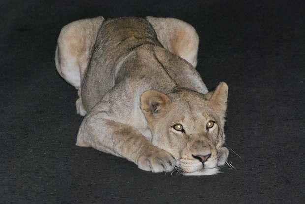 Lionne, Parc Kruger, Afrique du Sud