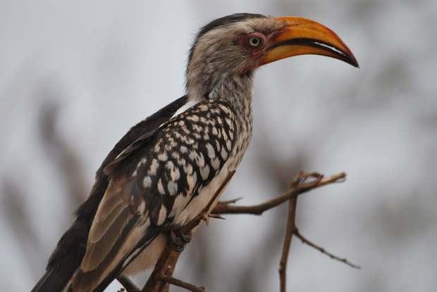 Oiseau, Parc Kruger, Afrique du Sud