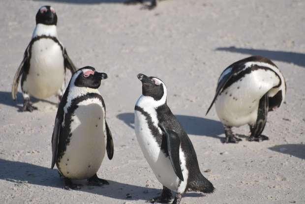 Pingouins, Cape Town, Afrique du Sud