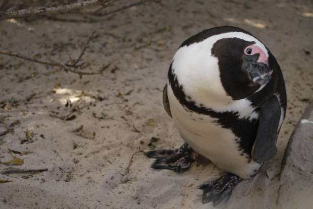 Pingouin, Cape Town, Afrique du Sud