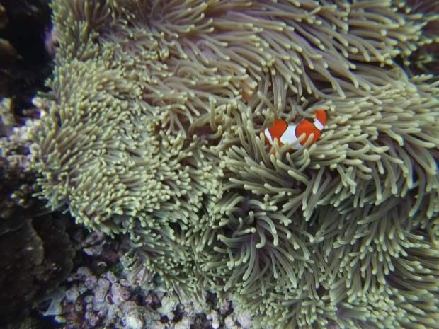 Clown fish, Mejangan, Bali
