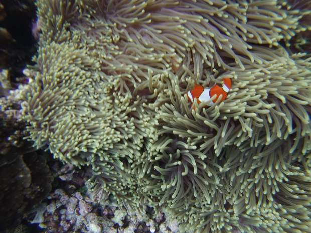 Clown fish, Mejangan, Bali