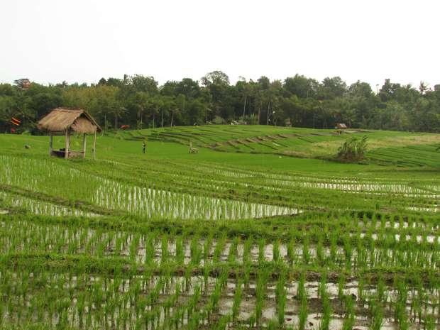 Rizières du Sud de Bali, Indonésie