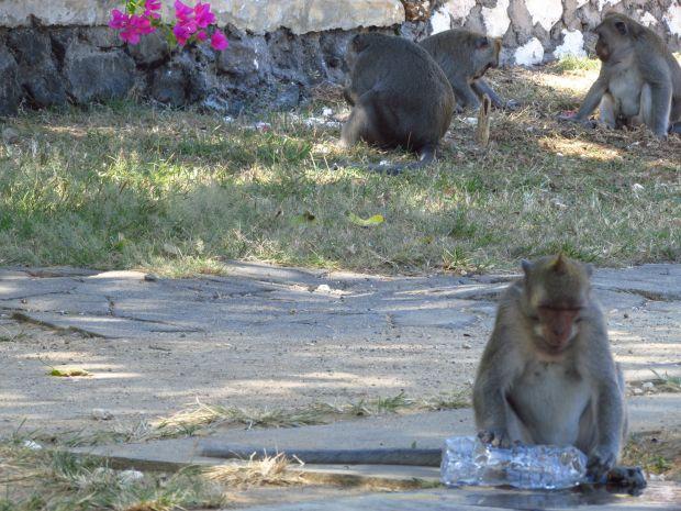 Monkey, Uluwatu, Bali