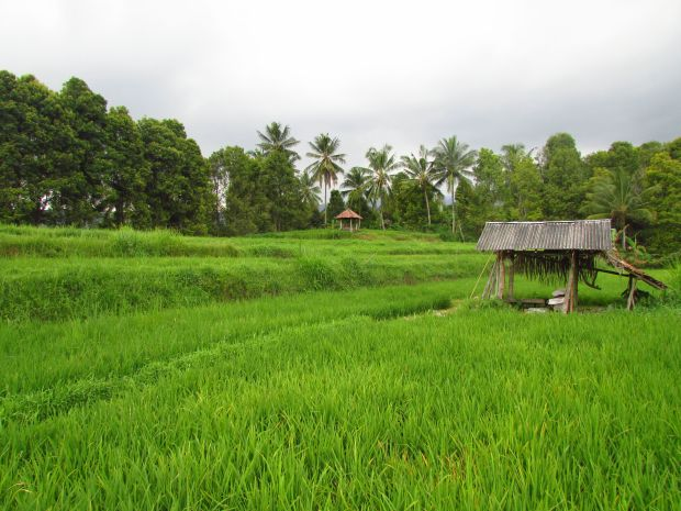 Munduk rice fields, Bali
