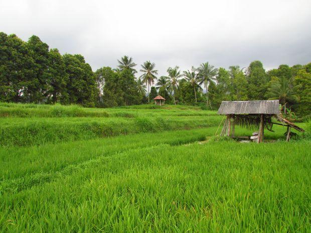Munduk rice fields, Bali