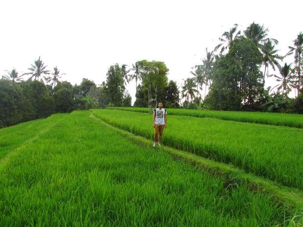 Champ de riz, Munduk, Bali