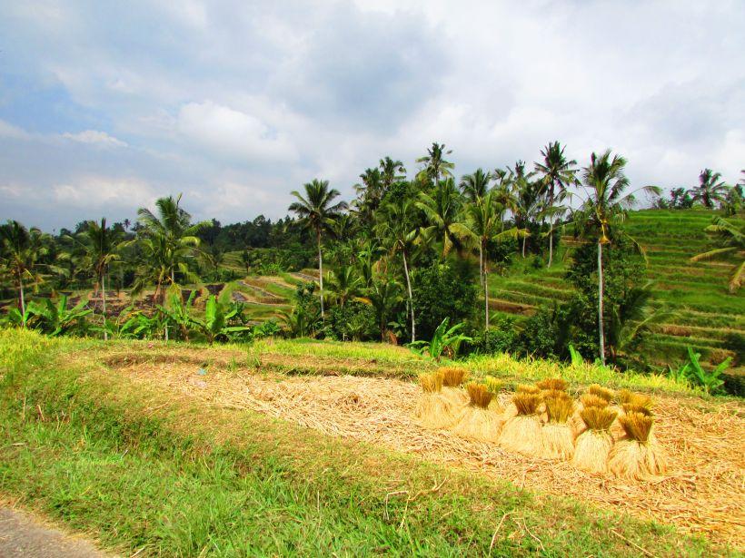 Récolte du riz, Jatiluwih, Bali