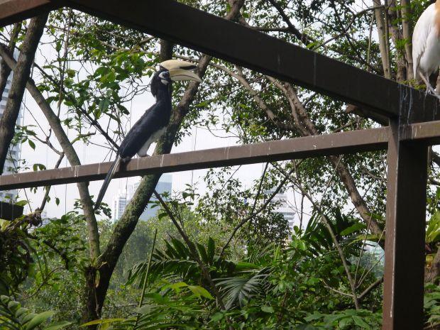 Rhinoceros Hornbill, Bird Park, Kuala Lumpur