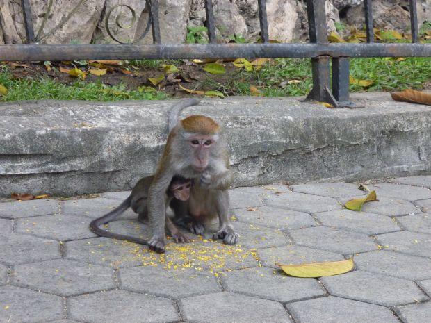 Monkey, Batu Caves, Kuala Lumpur