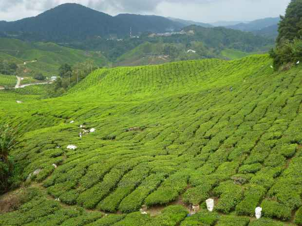 Plantations de thé, Cameron Highlands, Malaisie