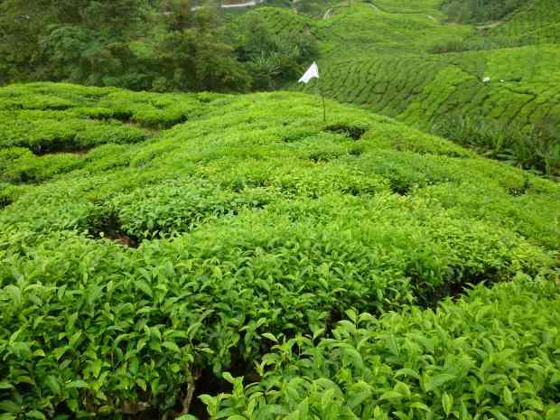 Culture du thé, Cameron Highlands, Malaisie