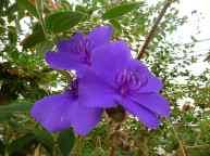 Orchidée violette, Cameron Highlands, Malaisie