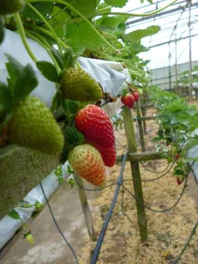 Plantations de fraises, Cameron Highlands, Malaisie