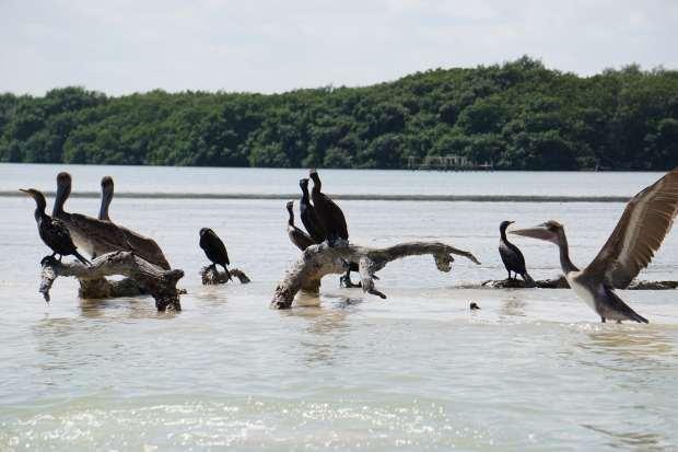 Pélicans et cormorans, Rio Lagartos, Mexique