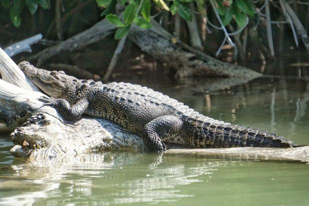 Crocodile, Rio Lagartos, Mexique