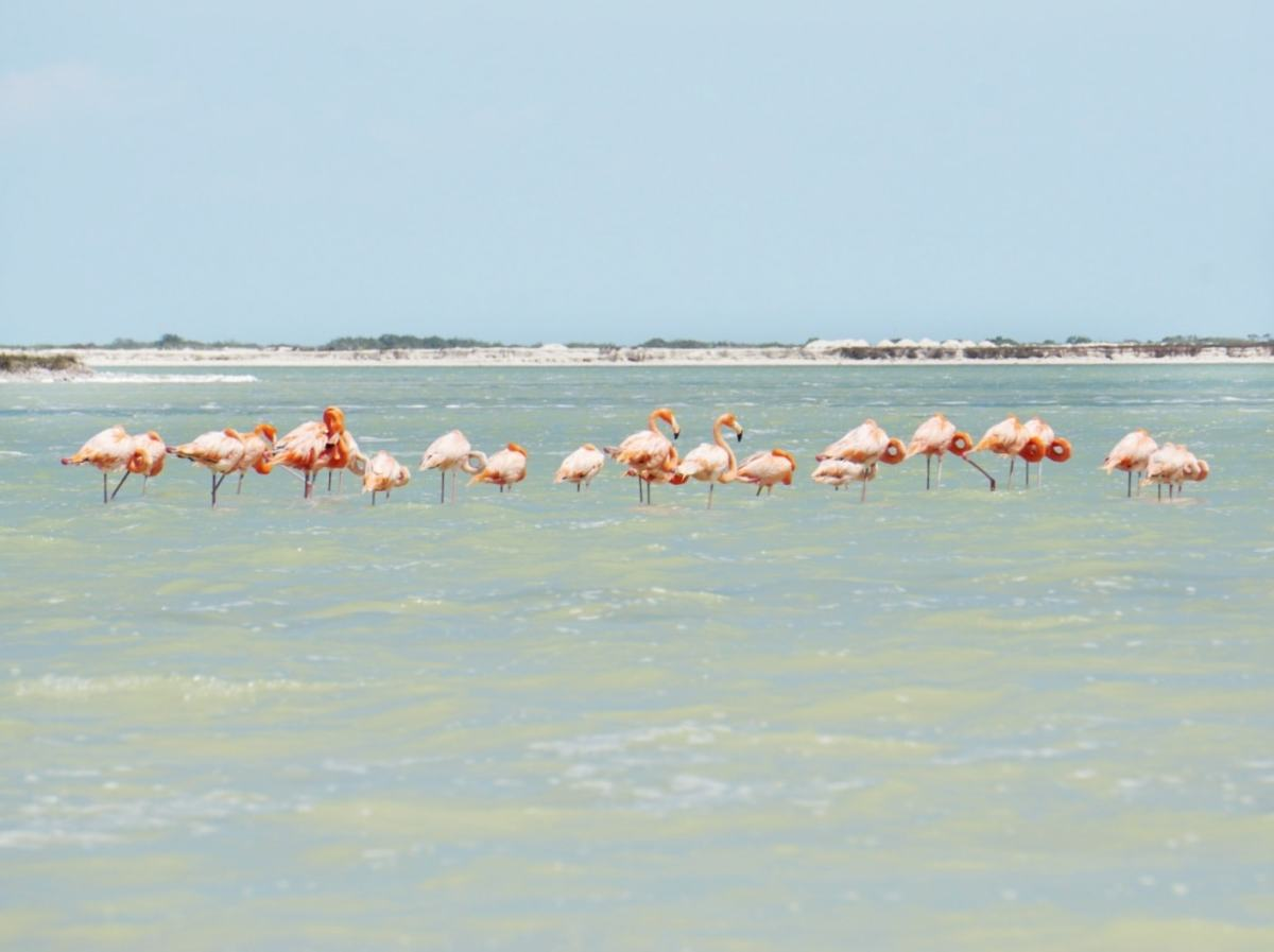 Flamants roses, Rio Lagartos, Mexique