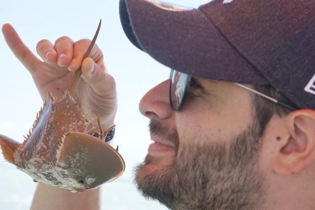 Horseshoe crab, Rio Lagartos, Mexique