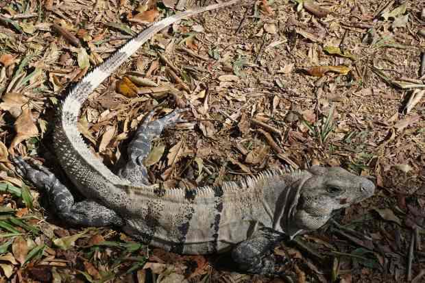 Iguane, Chichen Itza, Mexique