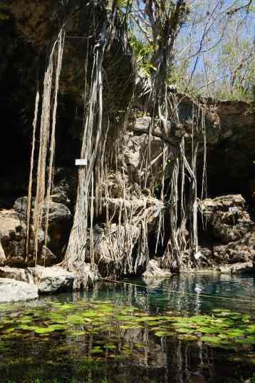 Racines tombant dans le Cenote Xbatun, Mérida, Mexique