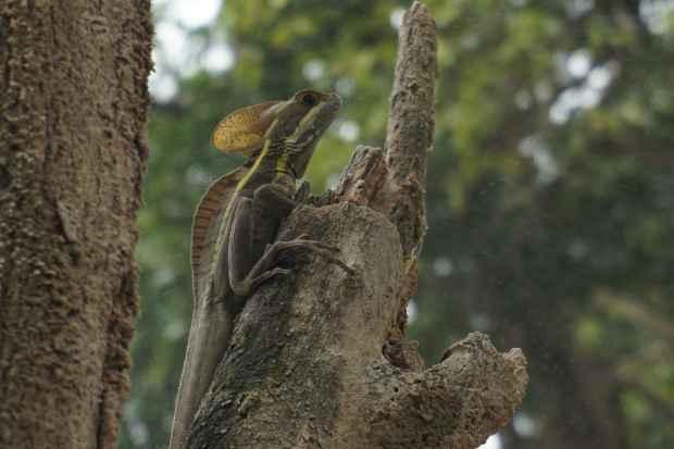 Lézard, Chiapas, Mexique