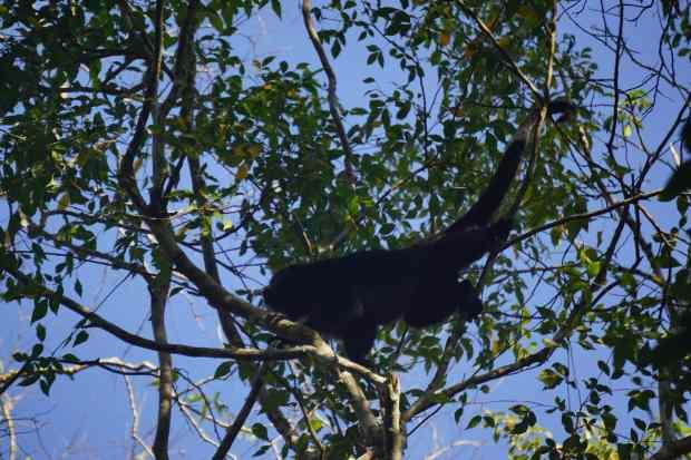 Singe araignée, Calakmul, Mexique