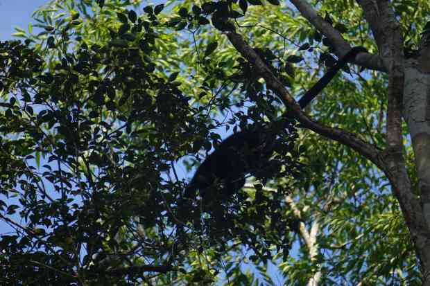 Monkey, Calakmul, Mexico