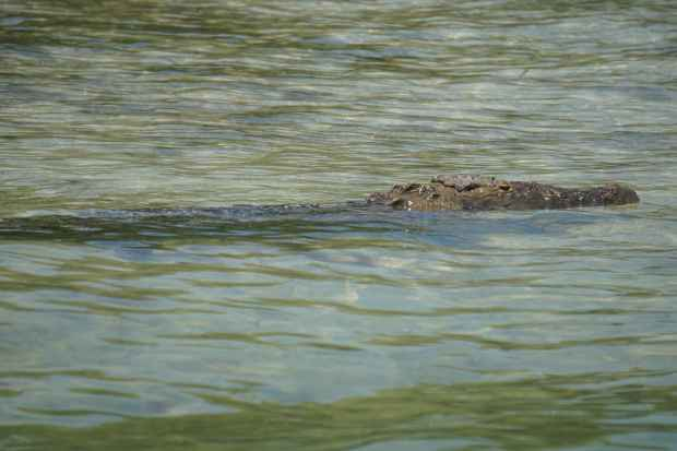 Crocodile, Sian Ka'an, Mexique