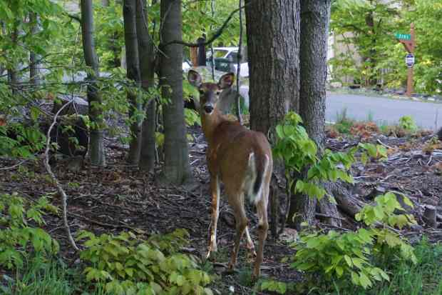 Biche, Pocono Mountain, Pennsylvanie