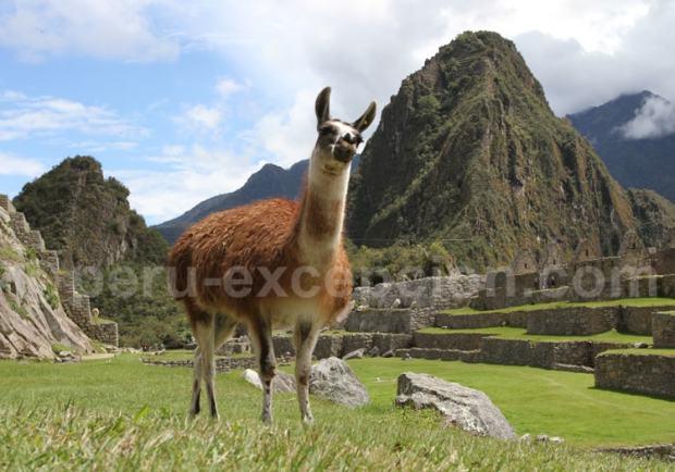 Lama au Machu Picchu, Pérou